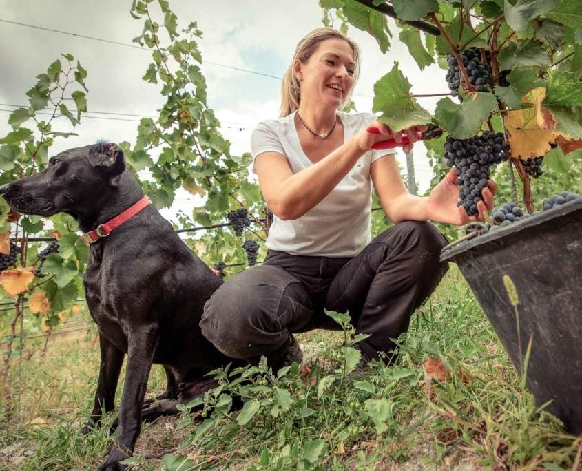 Frau bei Weinlese im Weinberg